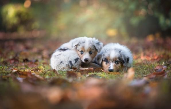 Картинка осень, взгляд, щенки, малыши, парочка, боке, Австралийская овчарка, Аусси