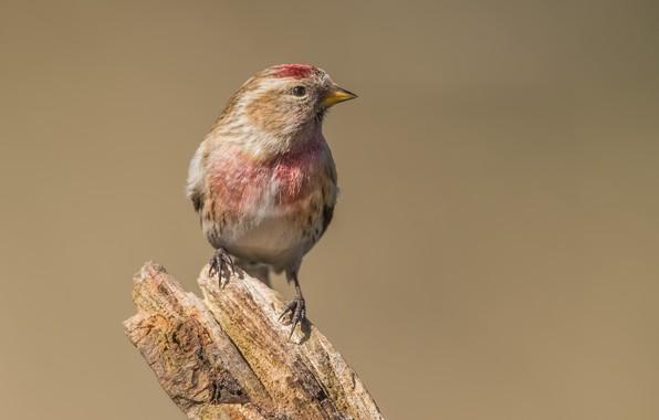 Картинка птицы, пень, чечётка, вьюрковые