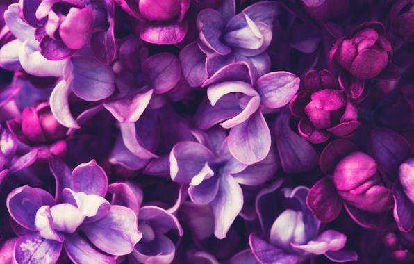 Картинка весна, цветение, blossom, flowers, сирень, spring, purple, lilac