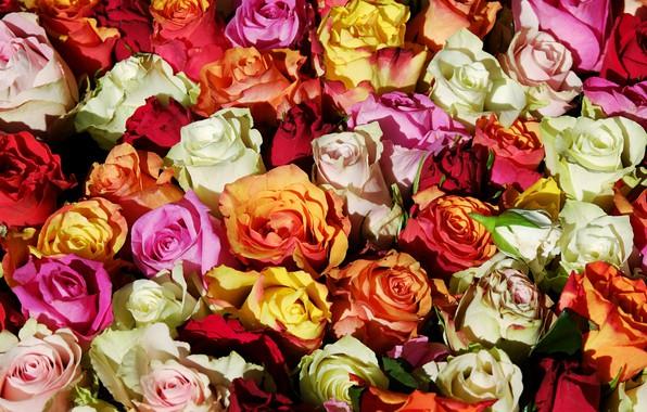 Картинка цветы, розы, букет, розовые, белые, оранжевые, бутоны, разноцветные, много, букеты