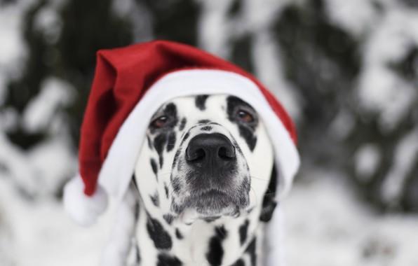 Картинка снег, собака, Новый Год, Рождество, Christmas, dog, 2018, Merry Christmas, Xmas, funny, cute, decoration, santa …