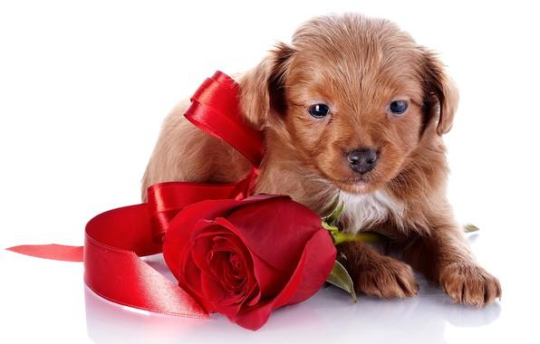 Фото обои роза, маленький, лента, щенок