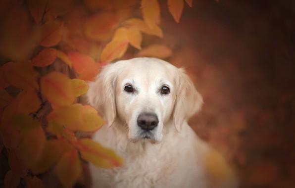 Картинка осень, взгляд, морда, листья, собака, боке, Голден ретривер, Золотистый ретривер