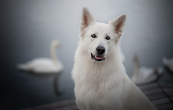 Картинка взгляд, морда, портрет, собака, лебеди, боке, Белая швейцарская овчарка