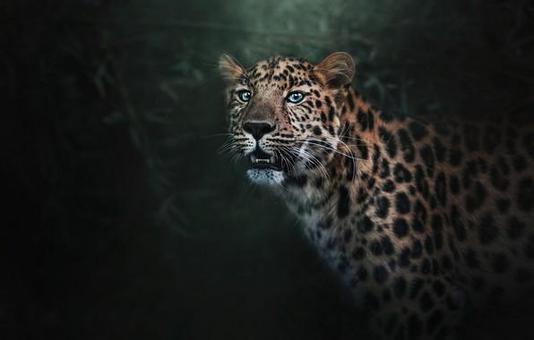 Картинка морда, фон, хищник, леопард, клыки, полумрак, боке