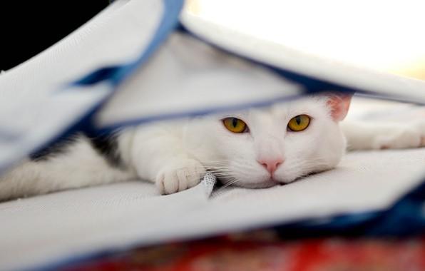 Картинка кошка, кот, взгляд, морда, фон, портрет, светлый, ткань, лежит, белая, желтые глаза, спряталась