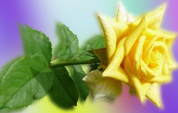 Картинка Kwiaty, Róże, Żółte