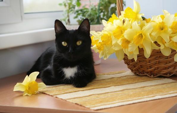 Картинка кошка, кот, цветы, чёрный, корзина, окно, мордочка, лежит, жёлтые, нарциссы, на столе, боке