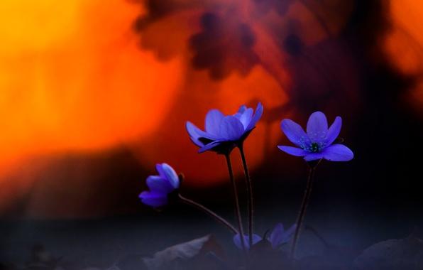 Картинка весна, боке, Печёночница