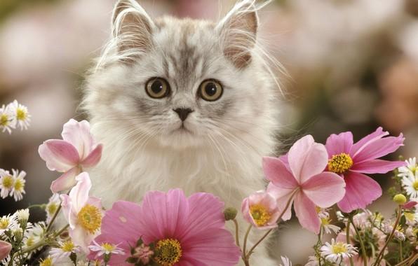 Картинка цветы, котенок, пушистый, космея