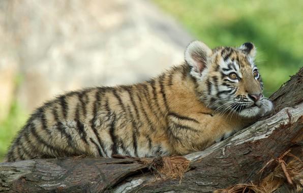 Картинка взгляд, природа, животное, хищник, коряга, детёныш, тигрёнок