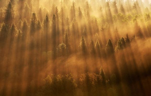 Фото обои лес, леса, деревья, туман, свет, утро