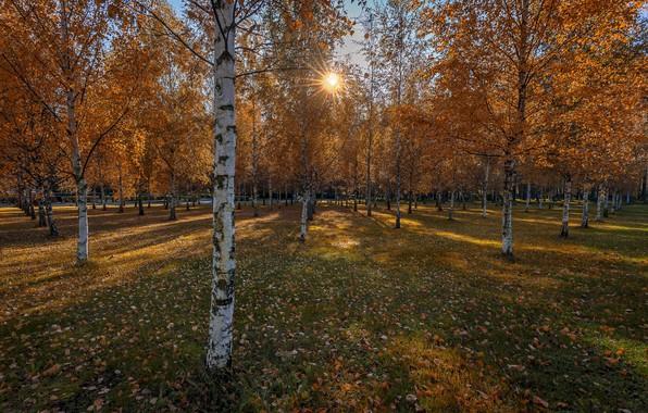 Картинка осень, парк, берёзы