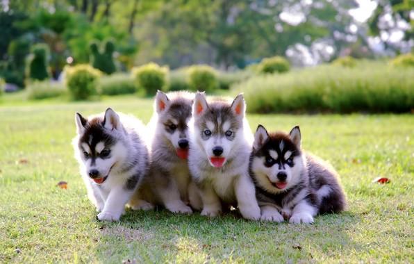 Картинка парк, щенки, малыши, лужайка, puppy, хаски, dog, park, cute, husky