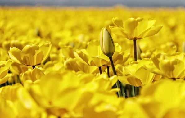 Картинка макро, лепестки, размытость, бутон, тюльпаны, много, жёлтые тюльпаны