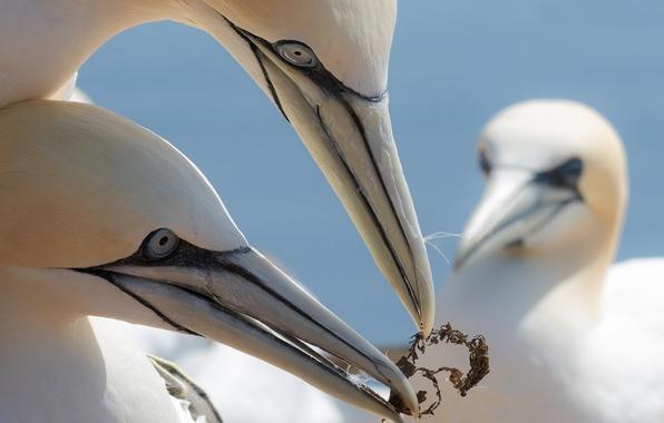 Картинка птицы, клюв, северная олуша