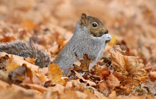 Картинка осень, животные, природа, фон, листва, белка, серая, белочка, грызуны