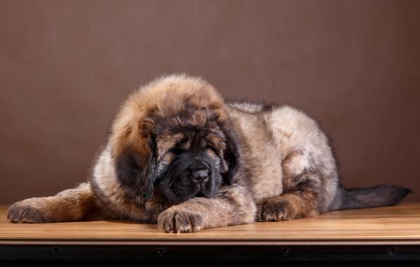 Картинка шерсть, щенок, порода, тибетский мастиф