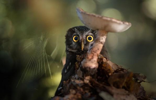 Картинка природа, сова, птица, гриб, паутина, боке