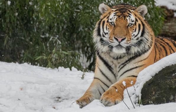 Картинка зима, кошка, морда, листья, снег, природа, тигр, фон, дикие кошки