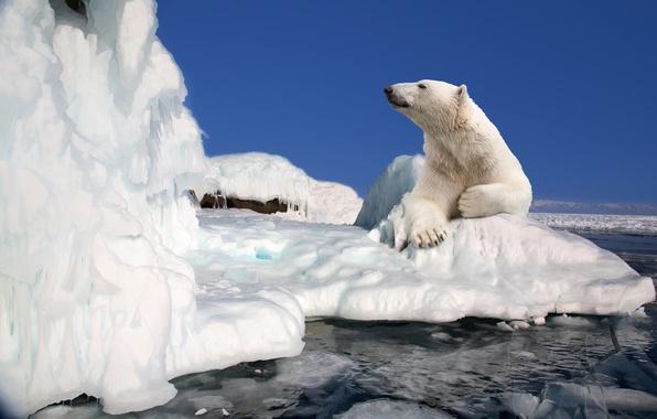 Картинка лед, природа, сила, отдых, красота, медведь, льдина, белый медведь, bear, animals, nature, polar bear, travel, …