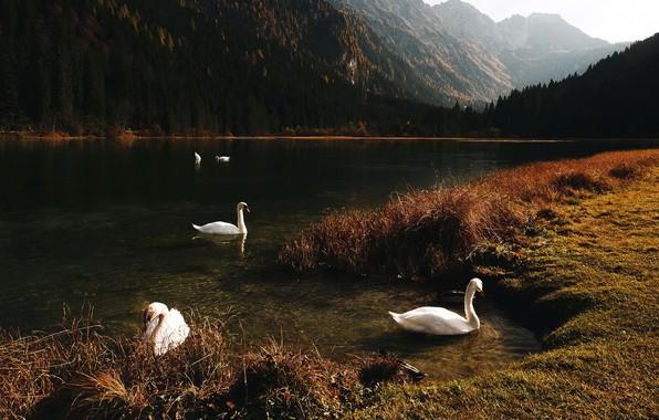 Картинка горы, озеро, лебеди