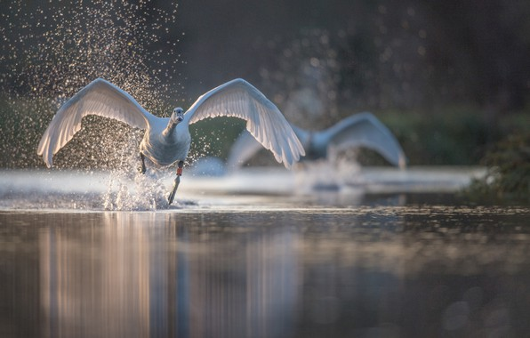 Картинка вода, брызги, птица, крылья, лебедь, разбег