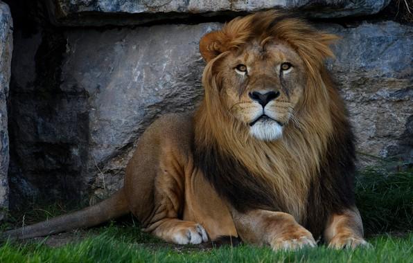 Картинка трава, взгляд, морда, кошки, природа, фон, камень, портрет, лев, лапы, грива, лежит, дикие кошки, зоопарк