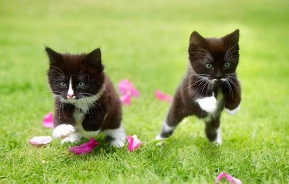 Картинка трава, игра, лепестки, котята, малыши, парочка, два котёнка