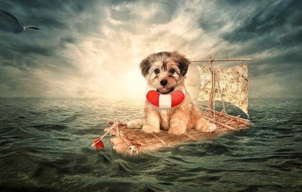 Картинка море, ситуация, собака, чайка, щенок, плот, пёсик, спасательный круг