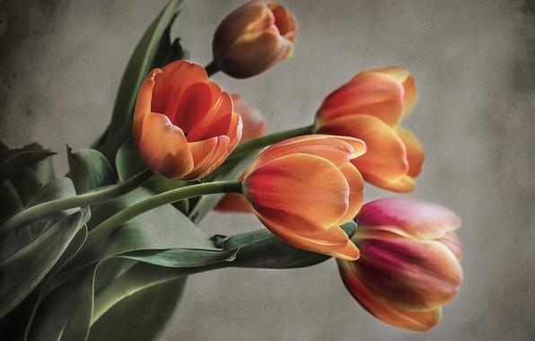 Картинка фон, букет, тюльпаны