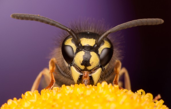 Картинка цветок, глаза, макро, пчела, фон, мордочка, насекомое, усики