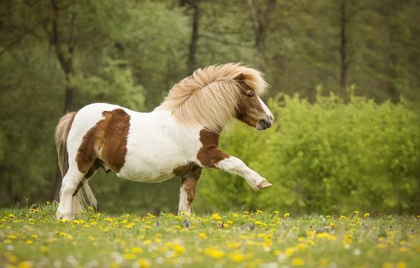 Картинка цветы, природа, луг, пони, лошадка