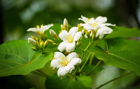 Картинка листья, цветки, тунг китайский, верниция Форда