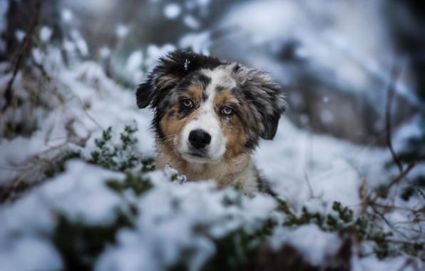 Картинка зима, взгляд, снег, собака, щенок, мордашка, пёсик, Австралийская овчарка, Аусси