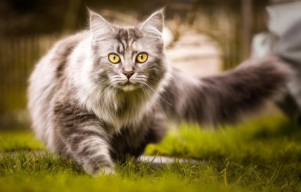 Картинка кошка, трава, кот, природа, серый, пушистый, хвост, прогулка, желтоглазый