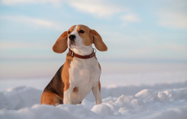 Картинка снег, собака, уши, Бигль