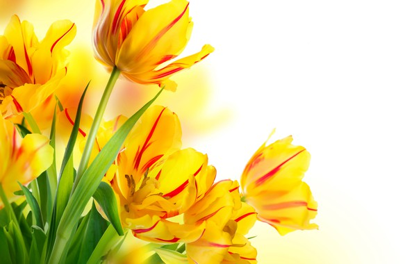 Картинка листья, желтые, тюльпаны, белый фон, бутоны, боке