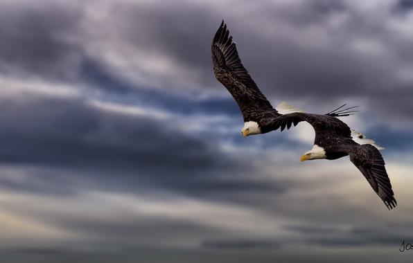 Картинка высота, пара, полёт, двое, хищные птицы, белоголовые орланы