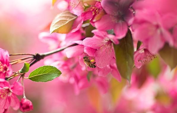 Картинка макро, вишня, пчела, ветка, сакура, цветение, цветки