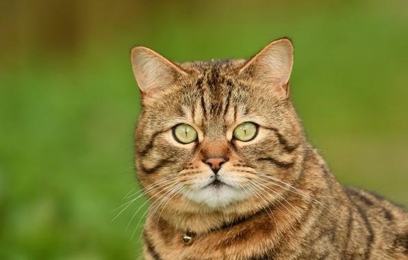 Картинка кошка, кот, взгляд, фон, портрет, мордочка, котейка