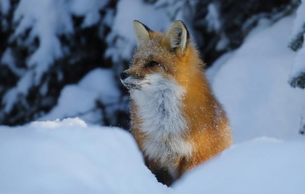 Картинка зима, снег, лиса, красавица, сугробы, рыжая