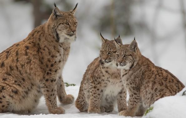Картинка снег, котята, дикие кошки, рысь, рыси, детёныши, рысята