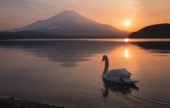 Картинка пейзаж, закат, озеро, птица, гора, вулкан, Япония, лебедь, Japan, Mount Fuji, Фудзияма, Lake Yamanaka, Озеро …