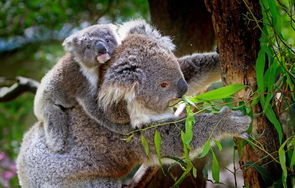 Картинка животные, листья, деревья, ветки, природа, детёныш, коала