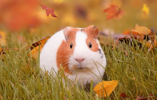 Картинка осень, трава, листья, морская свинка