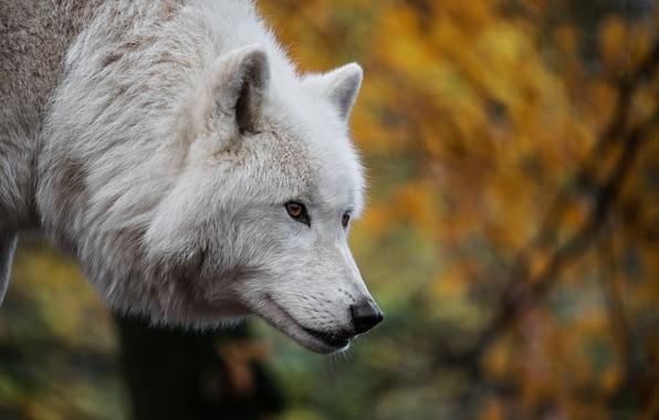 Картинка животное, волк, хищник, голова