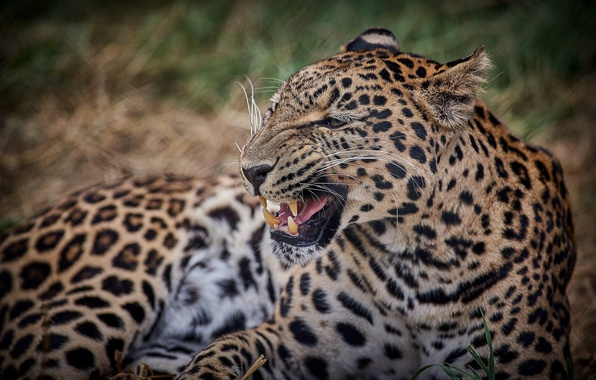 Картинка морда, злость, хищник, пасть, леопард, клыки, оскал, дикая кошка, рык, угроза