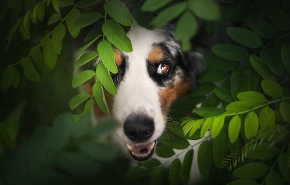 Картинка взгляд, морда, листья, Австралийская овчарка, Аусси