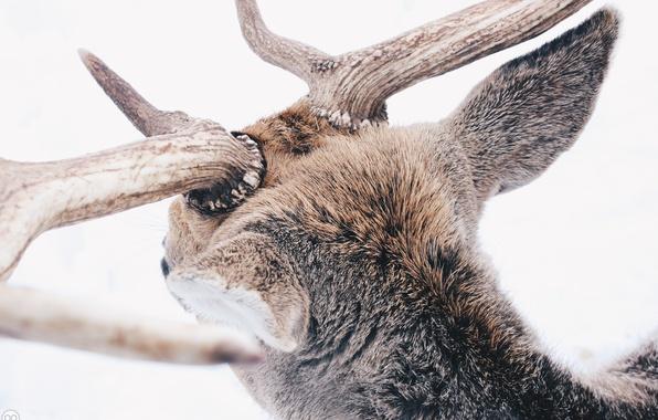 Картинка зима, лес, животные, снег, олень, рога, winter, snow, animal, reindeer